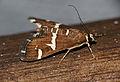 Beet Webworm Moth (Spoladea recurvalis) (17115953169).jpg