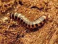 Beetle Larva (34565398315).jpg