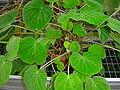 Begonia imperialis3.JPG