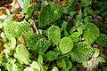 Begonia microsperma-Jardin botanique Jean-Marie Pelt (3).jpg