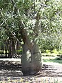 Belly tree - Ramat Hanadiv - Rothschild Memorial Park - panoramio.jpg