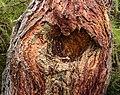 Bergtocht van Peio Paese naar Lago Covel in het Nationaal park Stelvio (Italië). Wond van een afgebroken tak. Europese larix (Larix decidua) 02.jpg