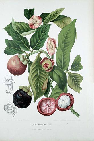 Mangosteen - Illustration from Fleurs, Fruits et Feuillages Choisis de l'Ile de Java 1863–1864 by Berthe Hoola van Nooten (Pieter De Pannemaeker lithographer)