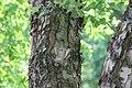Betula nigra Heritage 9zz.jpg