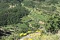 Betula pendula - Birch forest, Giresun 03.jpg