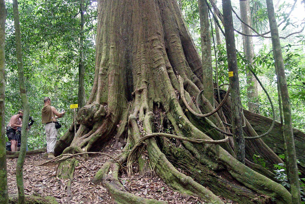 File Biggest Chengal Tree Jpg Wikimedia Commons