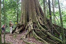 Biggest Chengal tree.jpg
