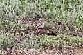 Bimaculated Lark (Melanocorypha bimaculata) (8079431487).jpg