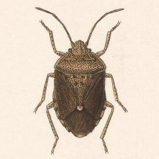 <i>Trichopepla</i> Genus of true bugs