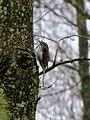 Bird on Alder - March 2013 - panoramio.jpg