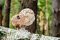 Birkenporling - birch polypore - birch bracket - razor strop - Piptoporus betulinus - 02.jpg