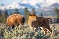 Bison at sunrise, Blacktail Deer Plateau (b8c061b9-379d-4468-9734-e5a43137f655).jpg