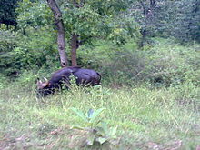 Bison in Mudumalai.jpg