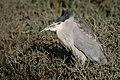 Black-crowned Night Heron (29456857526).jpg