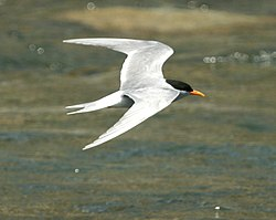 Black-fronted Tern, Greymouth, New Zealand (cropped 2).jpg