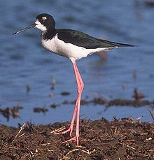 a black-necked stilt stands on disproportionately long legs
