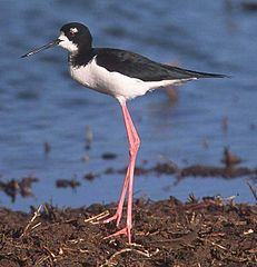http://upload.wikimedia.org/wikipedia/commons/thumb/1/1a/Black-necked_Stilt.jpg/231px-Black-necked_Stilt.jpg