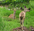 Black-tailed deer.jpg
