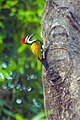 Black Rumped Flameback Woodpecker, Salt Lake Canal Side, Kolkata 1.jpg