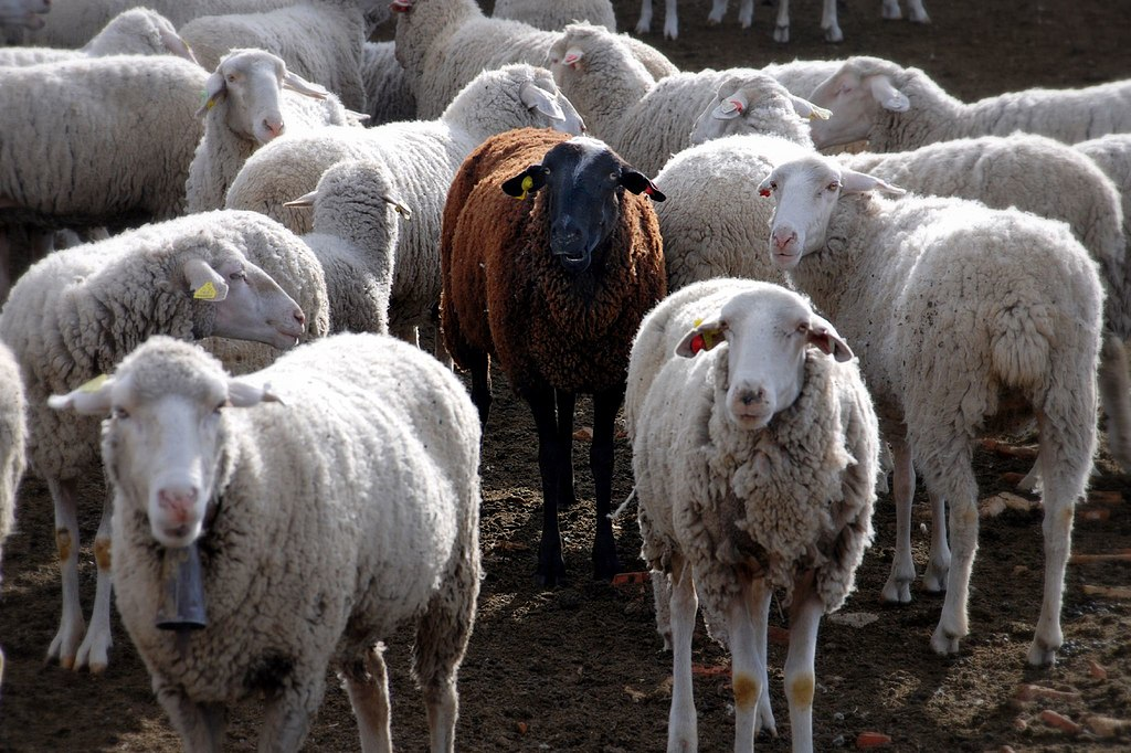 Black Sheep in the crowd of white sheep