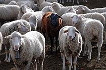 Black sheep-1.jpg