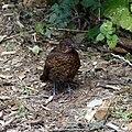 Blackbird juvenile at Goodnestone Park Kent England.jpg