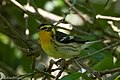 Blackburnian Warbler (female) Sabine Woods TX 2018-04-22 08-57-17 (28120464768).jpg
