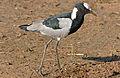 Blacksmith Lapwing (Vanellus armatus) (16383437517).jpg