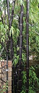 <i>Bambusa lako</i> species of plant