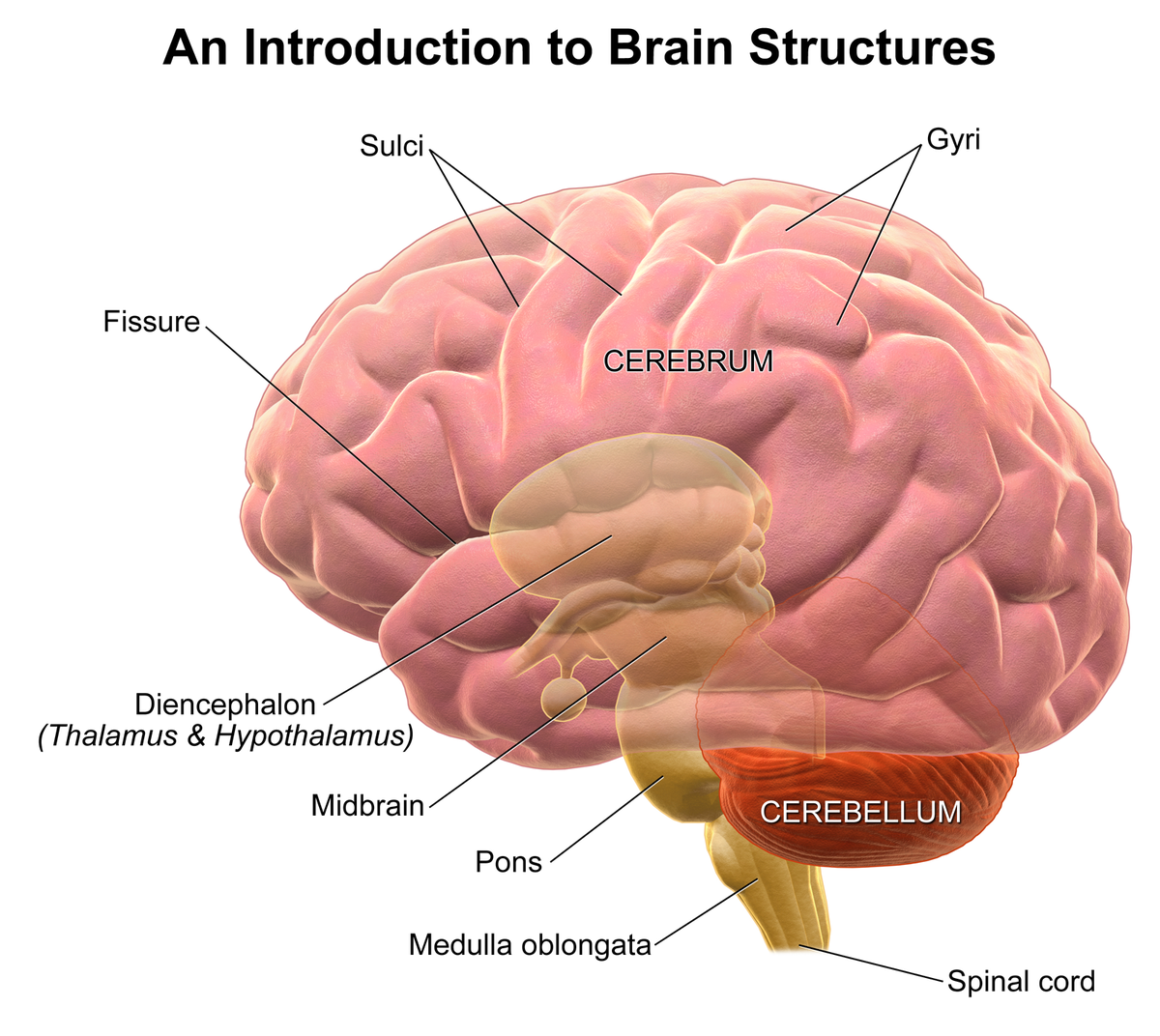 Lateral view of the cerebral cortex showing the principal ... |Cerebral Cortex Structure