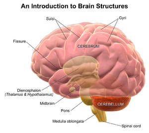 Sulcus (neuroanatomy) - Illustration depicting general brain structures including sulci