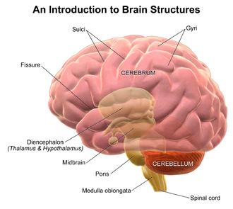 Sulcus (neuroanatomy) - Illustration depicting general brain structures including sulci