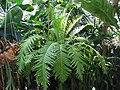 Blechnum gibbum a1.jpg