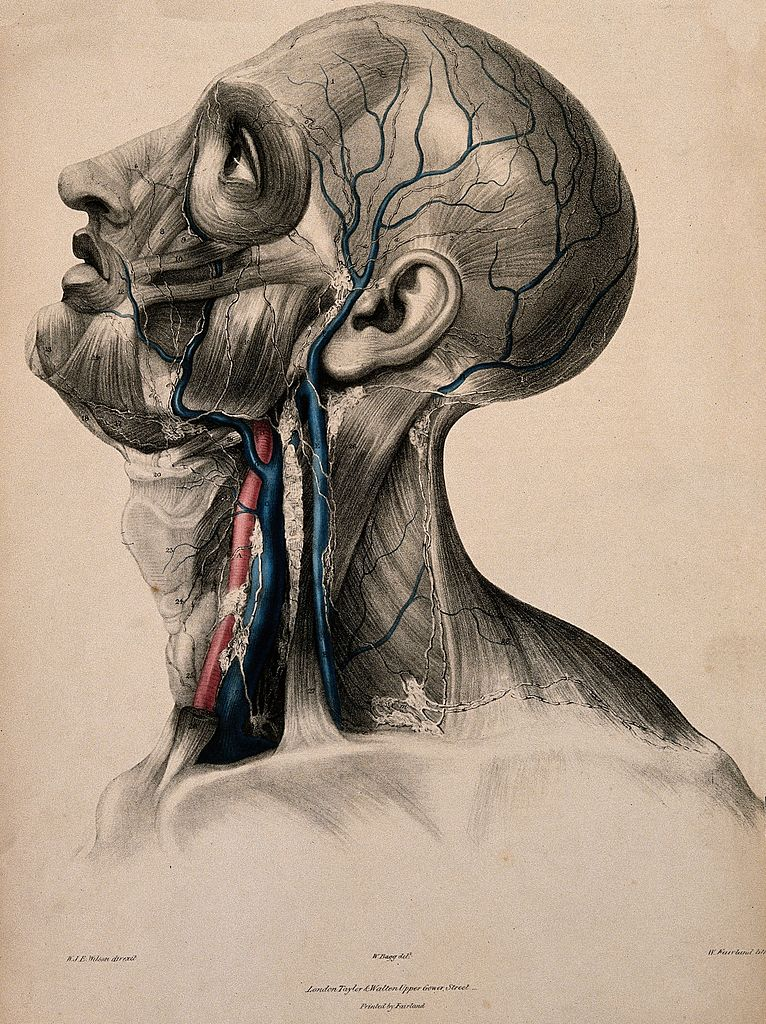 Fileblood Vessels And Lymphatic Vessels Of The Head And Neck