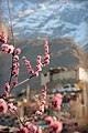 Blossom Flowers and Baltit Fort, Hunza.jpg