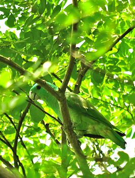 Blue-headed Racquet-tail Prioniturus platenae.jpg