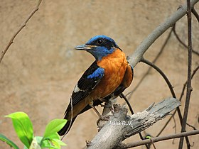Blue Capped Rock Thrush Seminary Hills April 2018.jpg