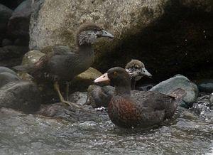 Mohaka River - Endangered blue ducks are often seen on the Mohaka