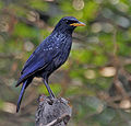 Blue Whistling Thrush (Myophonus caeruleus) at Jayanti, Duars, West Bengal W Picture 465.jpg