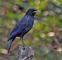 Blue Whistling Thrush (Myophonus caeruleus) at Jayanti, Duars, West Bengal W Picture 465