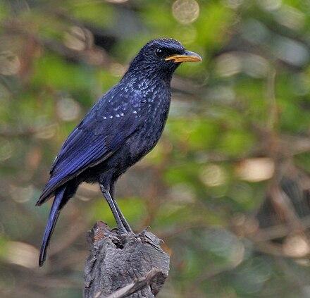 Burung Murai Batu Siul Wikiwand