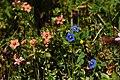 Blue and orange flowered Scarlet Pimpernel.jpg