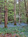 Bluebells after the rain - May 2012 - panoramio.jpg