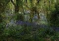 Bluebells in Unity Wood (3) - geograph.org.uk - 1314864.jpg