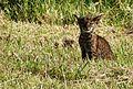 Bobcat 3 (12331099765).jpg