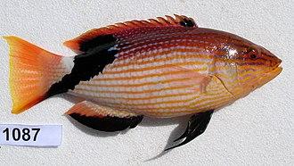 Bodianus - Bodianus loxozonus