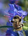 Bombus sylvarum queen - Echium vulgare - Keila.jpg