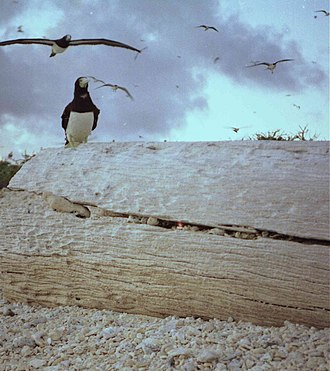Brown booby - Image: Booby Brown Return At Sunset