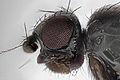 Borborillus uncinatus (female) (15706949479).jpg
