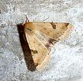 Bordered Straw. Heliothis peltigera - Flickr - gailhampshire (3).jpg